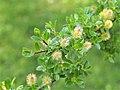 Salix arbuscula Wierzba skandynawska 2016-05-02 01.jpg