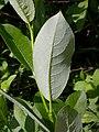 Salix eriocephala var. watsonii (4997262934).jpg