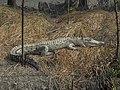 Saltwater Crocodile 03.jpg