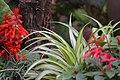 Salvia, Spider plant (22265757192).jpg
