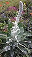 Salvia sclarea 'turkestaniana'.jpg
