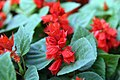Salvia splendens Red Hot Sally 0zz.jpg