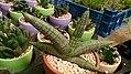 Sansevieria cylindrica var. patula 'Boncel'.jpg