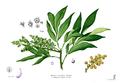 Sapindus saponaria Blanco2.388.png