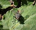 Sarcophagidae (44949791041).jpg