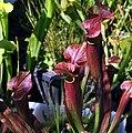 """Sarracenia """"Red Blush"""" (4756875257).jpg"""
