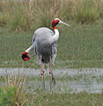Sarus Crane (Grus antigone) in Display at Sultanpur I Picture 134.jpg