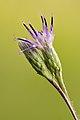 Saussurea alpina esthonica flowers detail - Keila.jpg