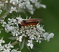 Sawfly sp. - Flickr - S. Rae.jpg