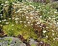 Saxifraga rosacea 01.jpg