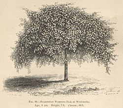 Scampston elm at Wodenethe, New York.jpg