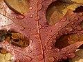 Scarlet Oak Leaf (2076329758).jpg