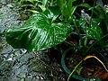 Schismatoglottis kotoensis - 蘭嶼芋 by 石川 Shihchuan - 001.jpg