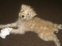 Schnoodle 3.jpg