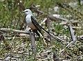 Scissor-tailed Flycatcher (46964270004).jpg