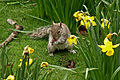 Sciurus carolinensis -St James Park, London, England-8a.jpg