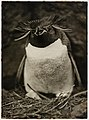 Sclater penguin, from (Exhibition of pictures taken during the Australasian Antarctic Expedition and other photographic studies by Frank Hurley), 1911-1914 - Flickr - State Library of New South Wales collection.jpg