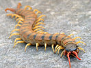 A brown centipede with yellow legs and red antennae faces the viewer.