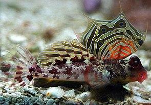 Augenfleck-Leierfisch (Synchiropus ocellatus)