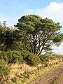 Scots pine, Arthurshiels Wood - geograph.org.uk - 626403.jpg