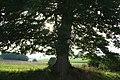 Scoville - Quercus robur - JPG1.jpg