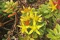 Sedum kamtschaticum 'Weihenstephaner Gold' (SG) (32848896421).jpg