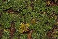 Sedum spathulifolium 3504.JPG