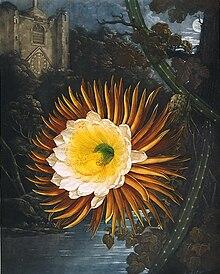 Night Blooming Cereus Wikipedia
