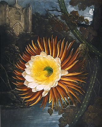 Night-blooming cereus - Selenicereus grandiflorus