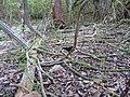 Selenicereus grandiflorus (5).jpg