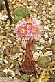 Sempervivum 'Rosie' (29971349694).jpg