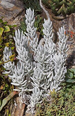 Senecio haworthii, Jardín Botánico, Múnich, Alemania 2012-04-21, DD 01.jpg