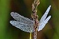 Seney National Wildlife Refuge - Wildlife (9705428962).jpg
