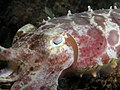 Sepia latimanus (Reef Cuttlefish closeup).jpg
