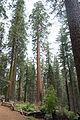 Sequoia, Tuolumne Grove.jpg
