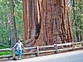 Sequoiadendron giganteum - giant sequoia tree (Sequoia National Park, Sierra Nevada Mountains, eastern California, USA) 1 (15715016987).jpg