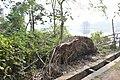 Shallow Roots Caused Easy Tree Toppling - Santragachi Jheel Area - Howrah 2017-12-25 5685.JPG