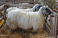 Sheep breeds (18096851743).jpg