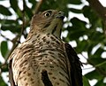 Shikra (Accipiter badius) in Hyderabad W3 IMG 8974.jpg