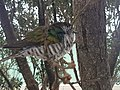Shining cuckoo on branch3.jpg