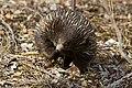 Short-beaked Echidna (Tachyglossus aculeatus) (15676864604).jpg