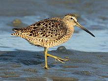 Short-billed Dowitcher RWD2016a.jpg
