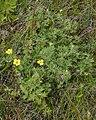 Shrubby Cinquefoil (Dasiphora fruticosa) - Gros Morne National Park, Newfoundland 2019-08-17 (02).jpg