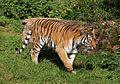 Sibirischer Tiger Panthera tigris altaica Tierpark Hellabrunn-18.jpg