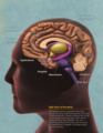 Side View of the Brain.png