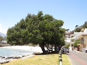 Sideroxylon inerme - Cape milkwood trees in typical coastal habitat
