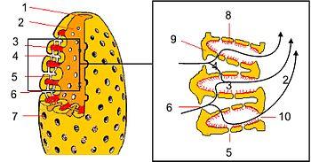 Porifera Wikipedia La Enciclopedia Libre