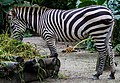 Singapore Zoo Zebra-1 (8332147538).jpg