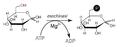 Sintesi di glucosio-6-fosfato.png
