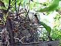 Sissortail Flycatcher Young in Nest 3 Jun 05 (17349718).jpg